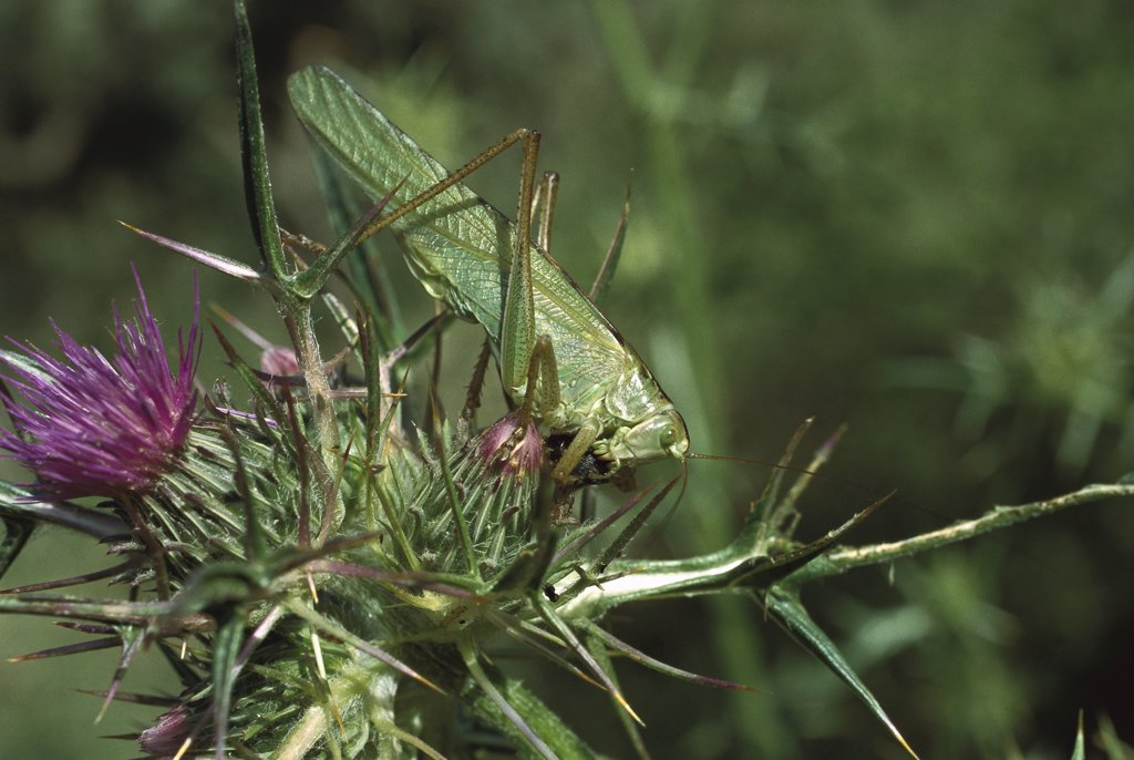 Stock Photo: 4201-9352 Great Green Bush Cricket, (Tettigonia viridissima) on thistle, Turkey