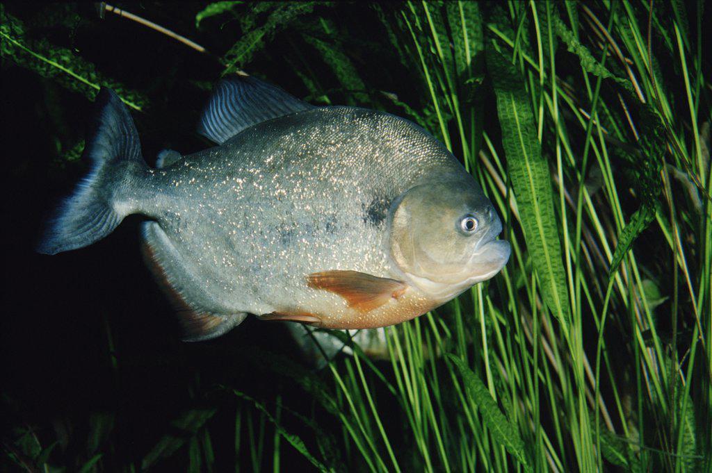 Stock Photo: 4201-9363 Blacktail Piranha (Pygocentrus piraya)