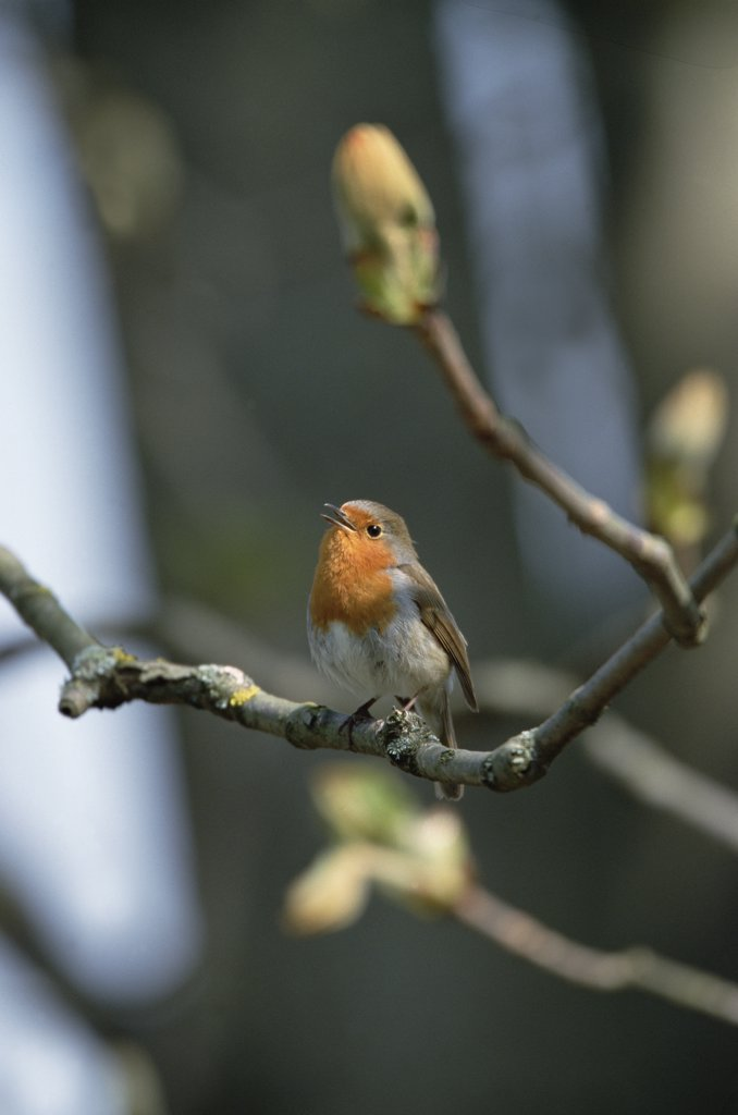 Stock Photo: 4201-9373 European Robin (Erithacus rubecula) singing, Germany