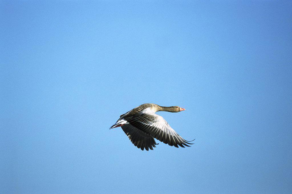 Stock Photo: 4201-9420 Greylag Goose (Anser anser) flying, Germany