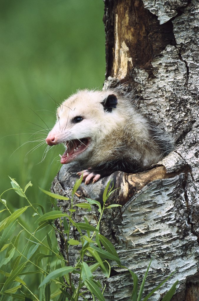 Virginia Opossum (Didelphis virginiana) female hissing from tree cavity, North America : Stock Photo
