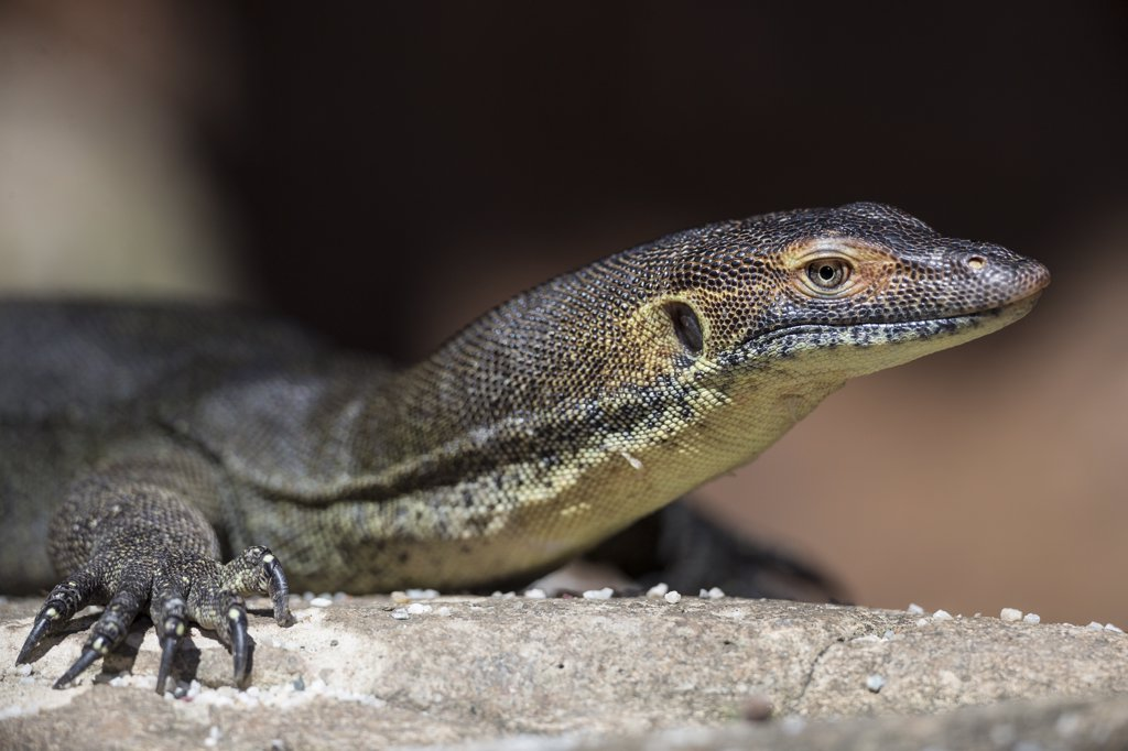 Mertens' Water Monitor (Varanus mertensi), Currumbin Wildlife Sanctuary, Queensland, Australia : Stock Photo