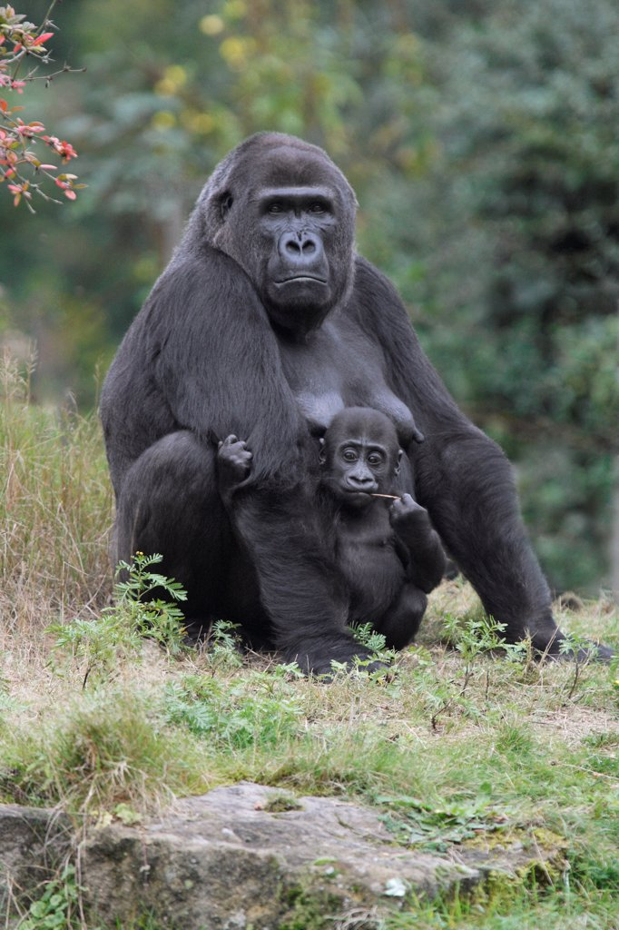 Western Lowland Gorilla (Gorilla gorilla gorilla) mother and young, Arnhem, Netherlands : Stock Photo