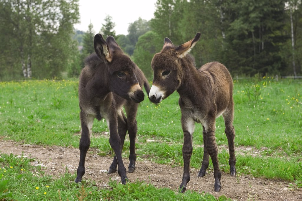 Donkey (Equus asinus) two foals communicating, Bavaria, Germany : Stock Photo