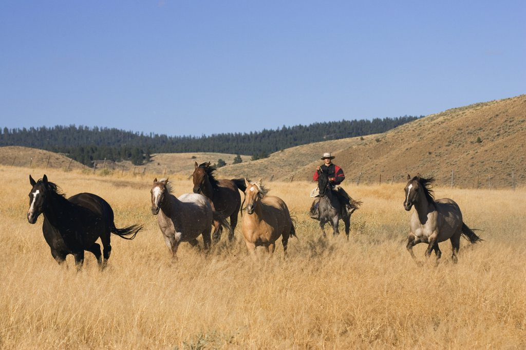 Domestic Horse (Equus caballus) group herded by cowboy, Oregon : Stock Photo