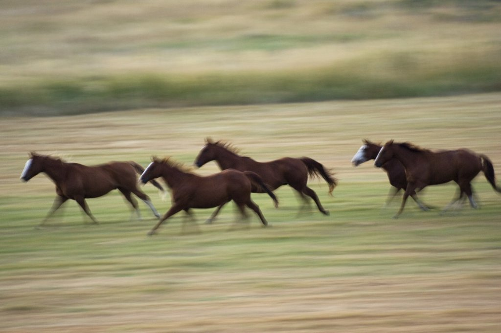 Domestic Horse (Equus caballus) herd of five galloping across field, Oregon : Stock Photo