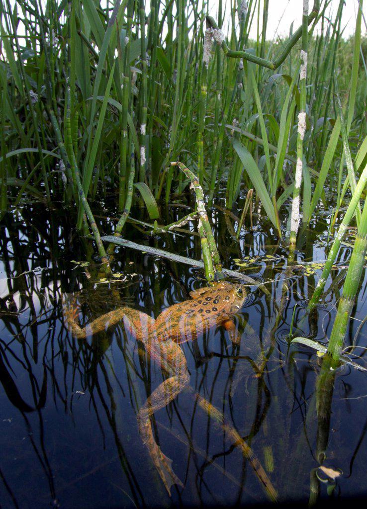 Oregon Spotted Frog (Rana pretiosa) floating in marsh, Conboy Lake National Wildlife Refuge, Washington : Stock Photo
