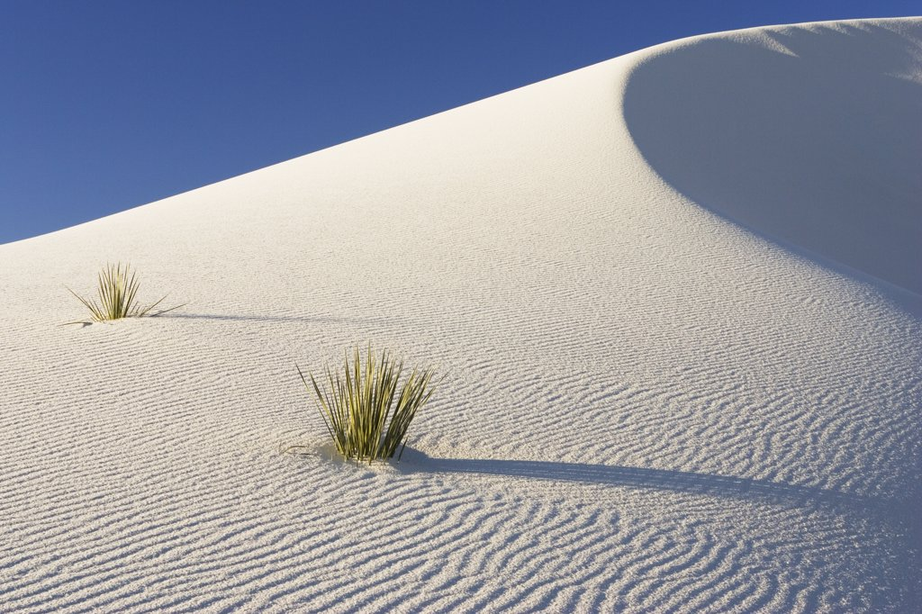 Stock Photo: 4201-9825 Yuccas growing in gypsum sand dunes, White Sands National Monument, New Mexico