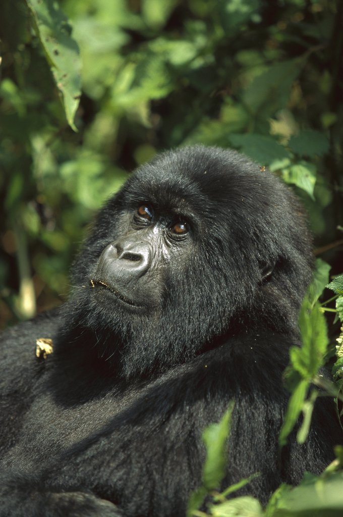 Mountain Gorilla (Gorilla gorilla beringei) portrait, endangered, central Africa : Stock Photo