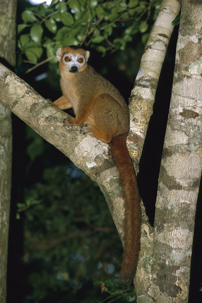 Crowned Lemur (Eulemur coronatus) male resting in tree, vulnerable species, Madagascar : Stock Photo