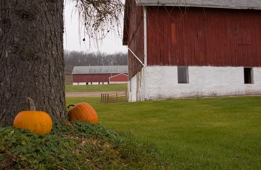 Pumpkins in front of barns, Columbia County, Wisconsin, USA : Stock Photo