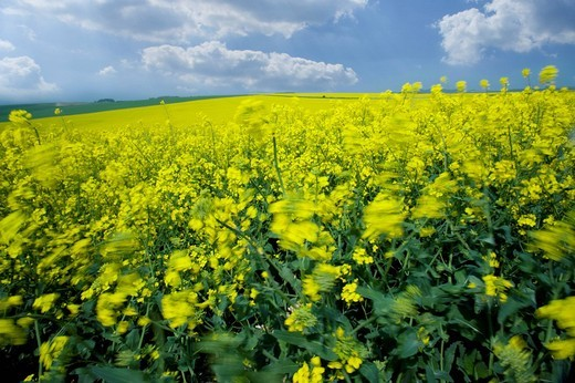Field of canola and cloudy sky : Stock Photo