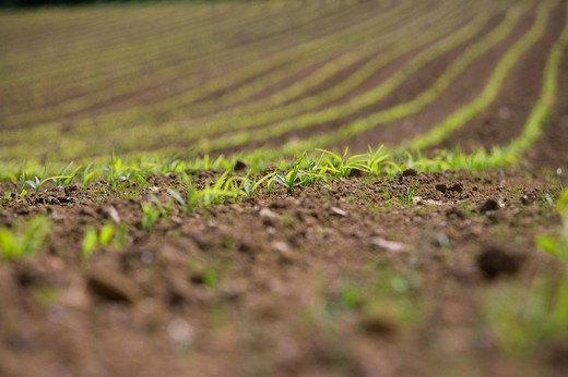Stock Photo: 4208R-15029 Close up of corn seedlings in field