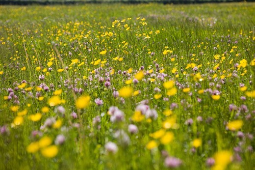 Stock Photo: 4208R-15726 Close up of tranquil field of blooming buttercups