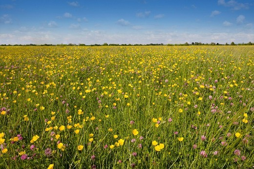 Tranquil field of blooming buttercups : Stock Photo