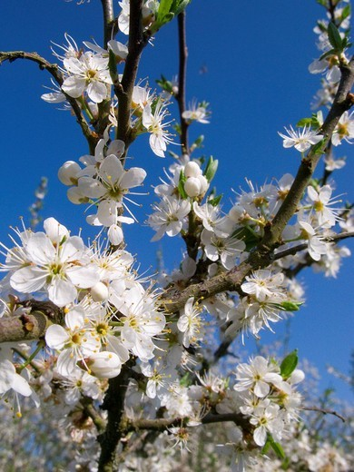 Close up tree blossoms against blue sky : Stock Photo