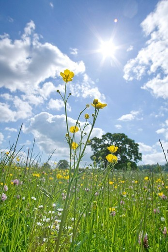 Stock Photo: 4208R-21144 Meadow of grass and blooming summer flowers under blue sky