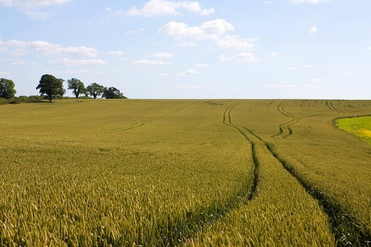 Tractor tracks in wheat field : Stock Photo
