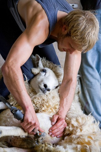 Young farmer shearing sheep for wool : Stock Photo
