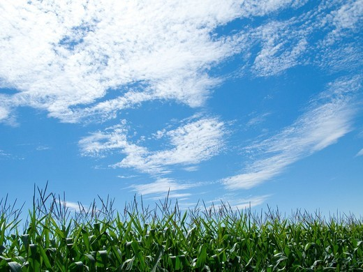 Clouds floating in blue sky over maize field : Stock Photo