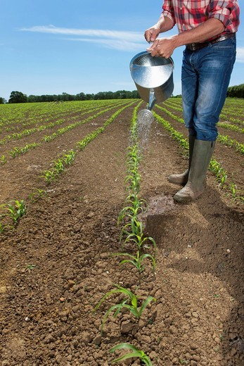 Farmer watering corn seedlings in field with watering can : Stock Photo