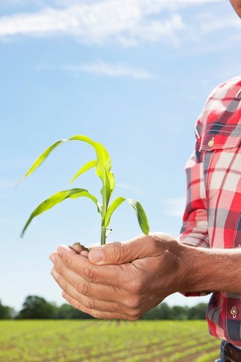 Close up of farmer cupping corn seedling : Stock Photo