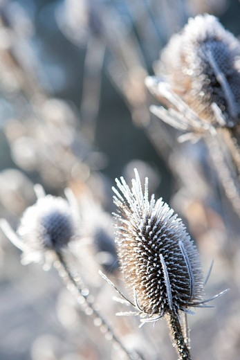 Stock Photo: 4208R-29242 Frost covered cow parsley stalks in winter