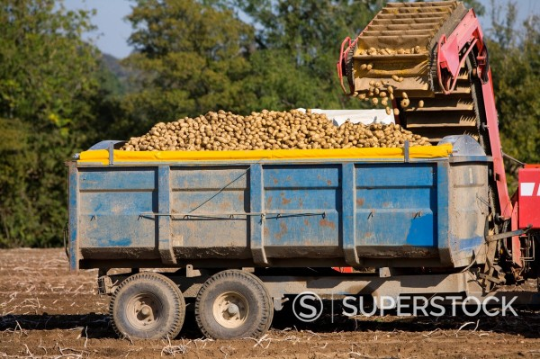 Stock Photo: 4208R-30095 Potatoes being emptied into trailer in sunny, rural field