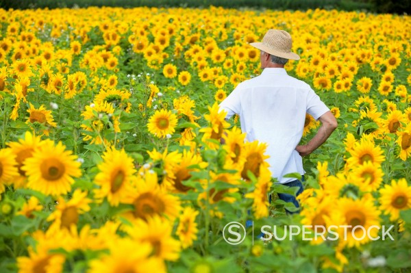 Stock Photo: 4208R-32224 Man with hands on hips among sunflowers in sunny meadow