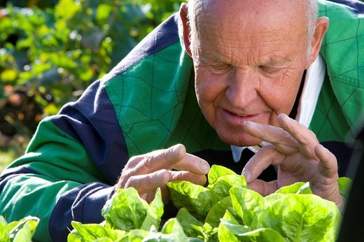 Stock Photo: 4208R-3452 Man inspecting lettuce in garden