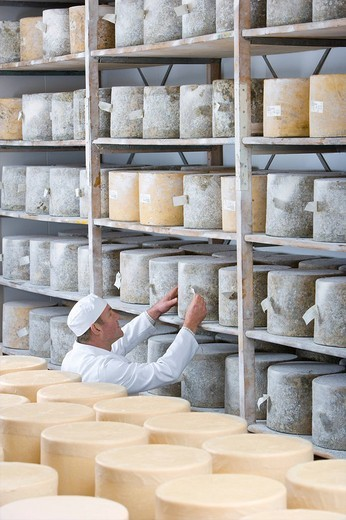 Stock Photo: 4208R-3681 Cheese maker checking farmhouse cheddar cheese wheels on shelf in cellar