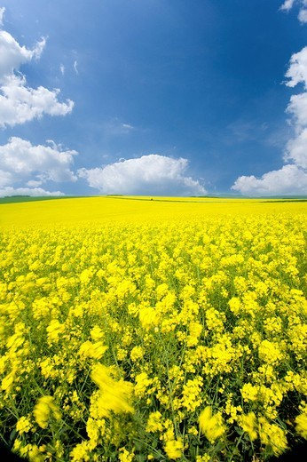 Stock Photo: 4208R-6427 Field of canola and cloudy sky