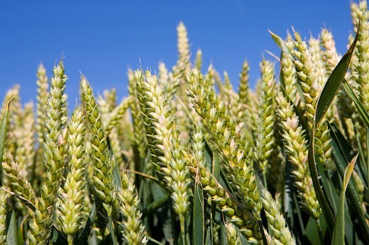 Close up of wheat : Stock Photo