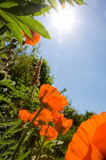 Sun shining over poppies : Stock Photo
