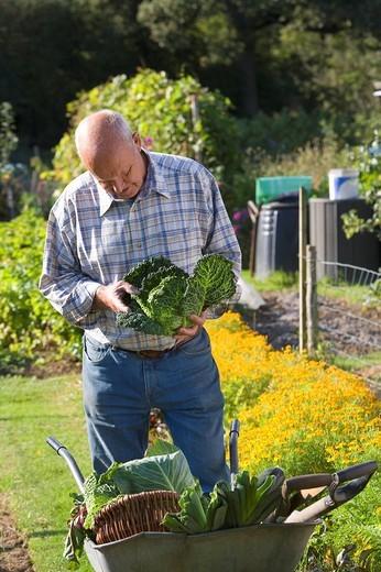 Stock Photo: 4208R-6926 Man picking vegetables in garden