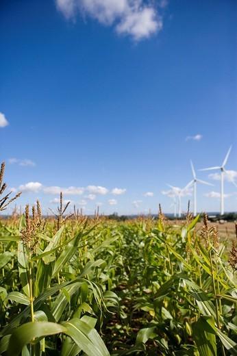 Stock Photo: 4208R-9122 Corn field and windmills