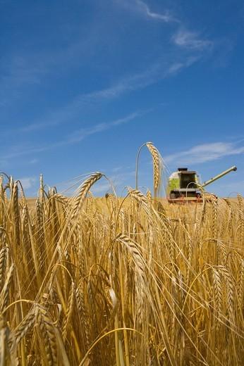 Combine in barley field : Stock Photo