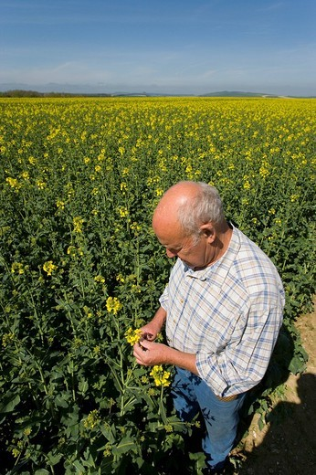 Stock Photo: 4208R-9965 Farmer examining rape seed in field