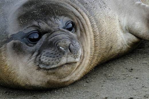 UK, South Georgia, Salisbury Plain, Close up of southern elephant seal pup : Stock Photo
