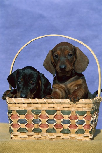 Stock Photo: 4211-1151 Standard Smooth Dachshund (Canis familiaris) two puppies in a basket