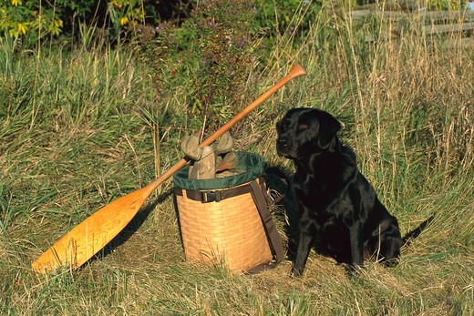 Stock Photo: 4211-1281 Black Labrador Retriever (Canis familiaris) adult with duck decoys and oar