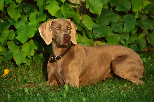 Weimaraner (Canis familiaris) adult female laying in grass : Stock Photo