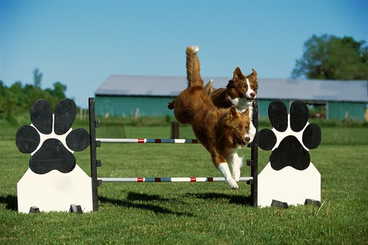 Stock Photo: 4211-1608 Border Collie (Canis familiaris) two adults leaping over jump