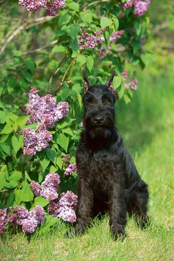 Stock Photo: 4211-2278 Standard Schnauzer (Canis familiaris) puppy sitting next to lilacs