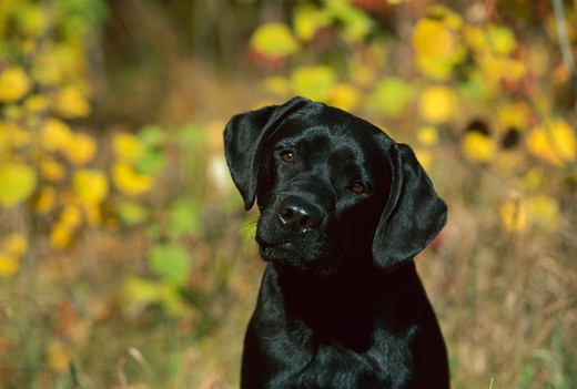 Black Labrador Retriever (Canis familiaris) portrait of puppy : Stock Photo