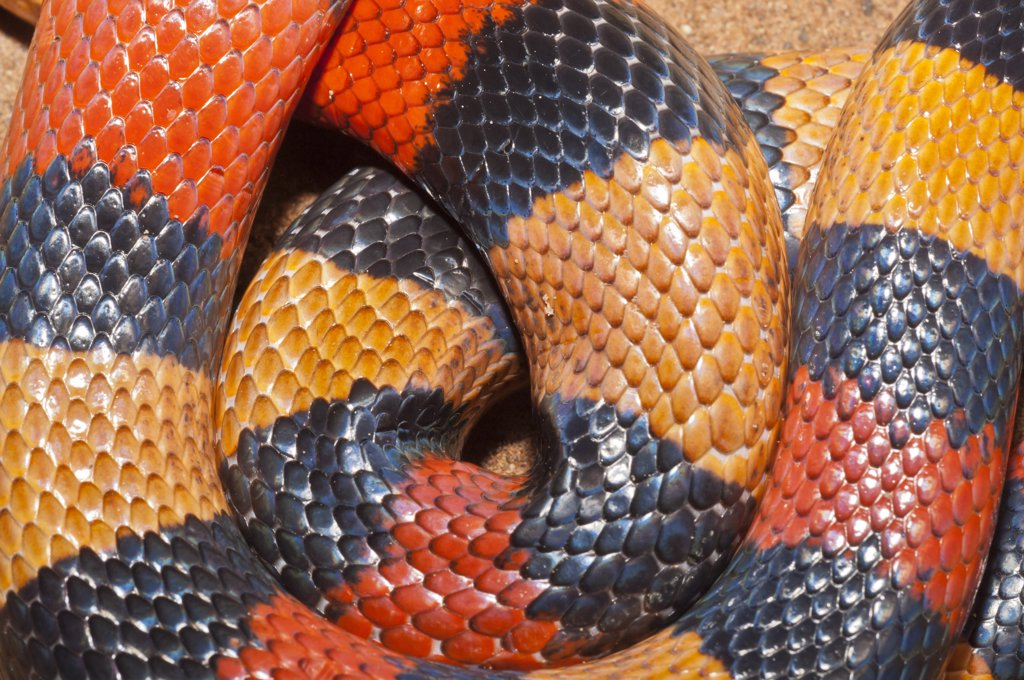 Close-up of a Campbell's Milk snake (Lampropeltis triangulum campbelli) : Stock Photo