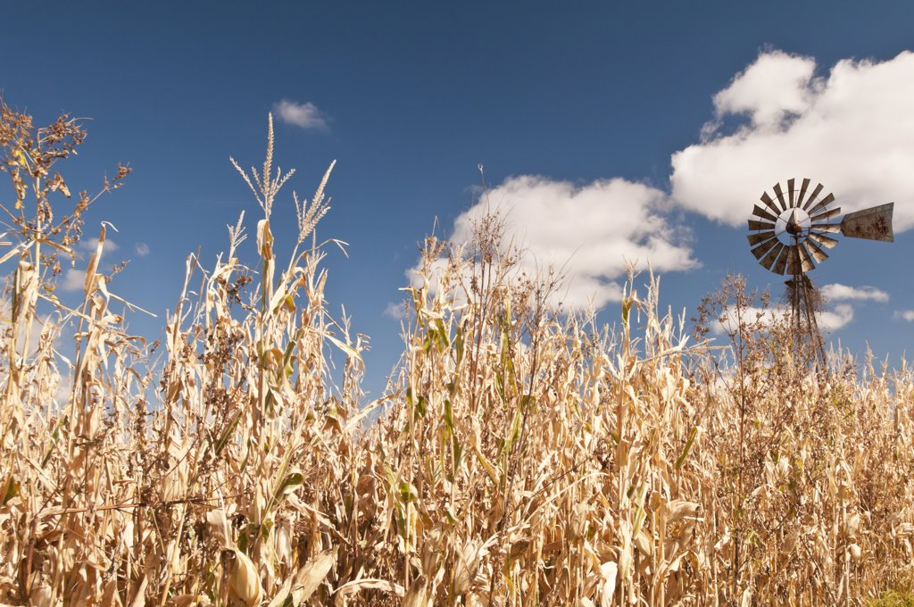 Windmill and corn crop in a field, Viroqua, Wisconsin, USA : Stock Photo