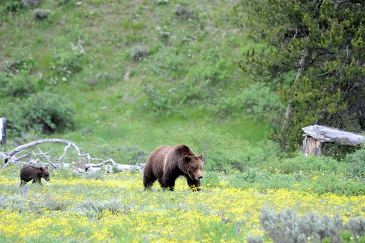 USA, Wyoming, Grand Teton National Park, Grizzly (Ursus arctos horribilis) 399 and one of her cubs walking through wildflowers near Pilgrim Creek : Stock Photo