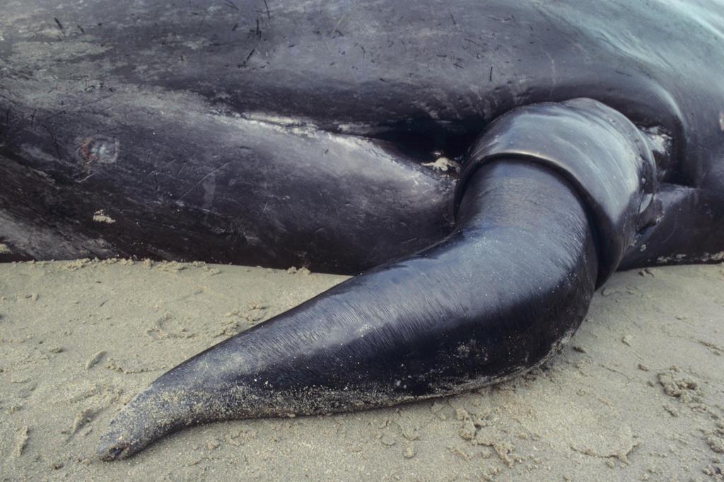 Huge Whale Penis 89