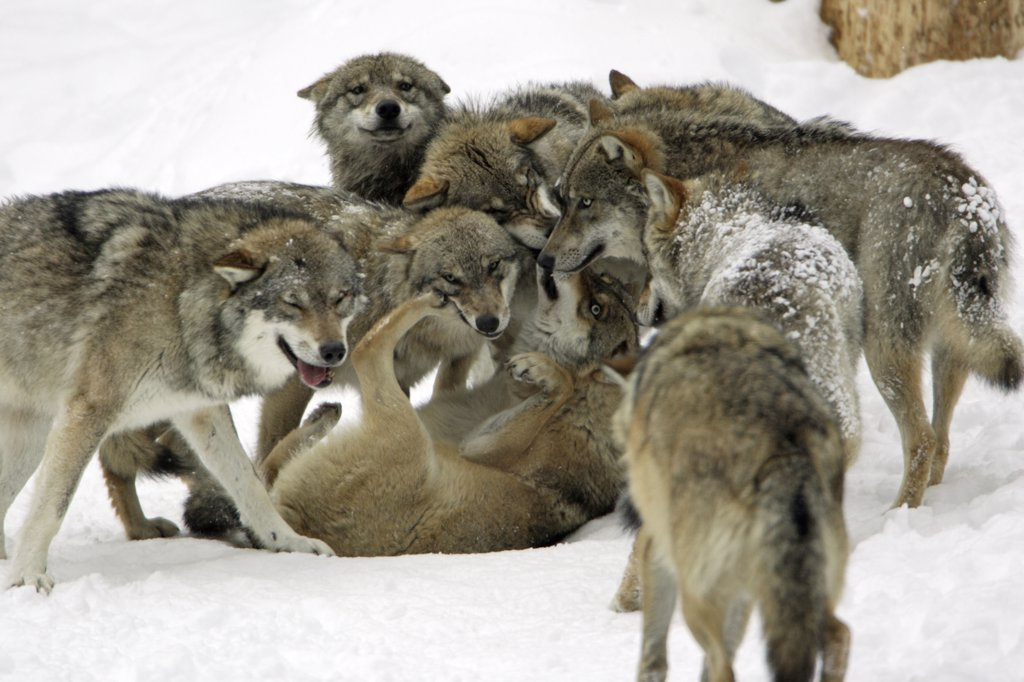 wolf country the pack body postures and social structure - 450×359